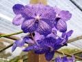 lilla-orkide-1200