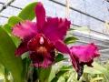 magenta-orkide-1200